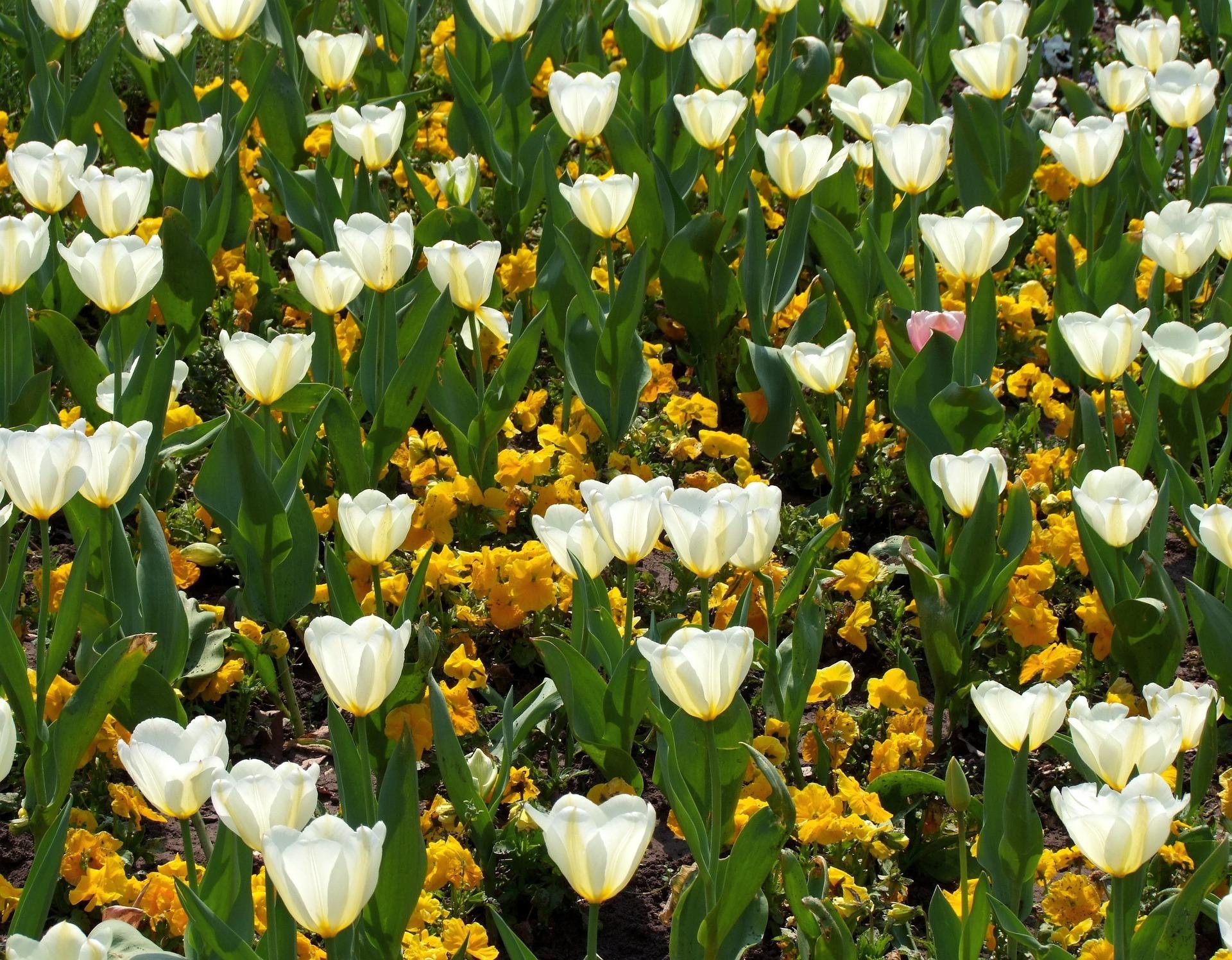 tulips-5251572_1920