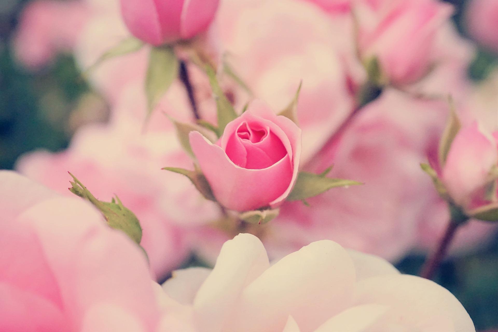 rose-5255938_1920