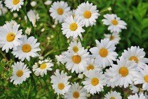 daisy-flower-spring-marguerite-plant-bloom