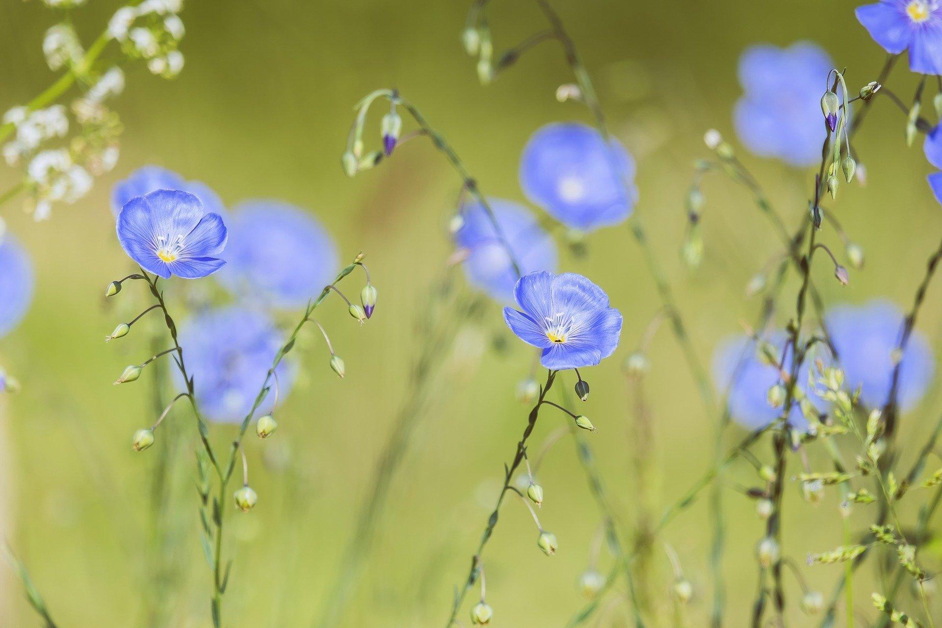 blue-flax-5200811_1920