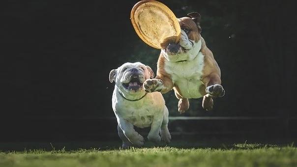 bulldog-5071407__340